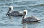 Fuzzy-headed Brown Pelicans