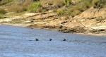 Three deer swim across the river.